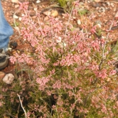 Lissanthe strigosa subsp. subulata (Peach Heath) at Carwoola, NSW - 5 Sep 2021 by Liam.m