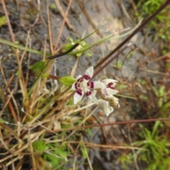 Wurmbea dioica subsp. dioica (Early Nancy) at Carwoola, NSW - 5 Sep 2021 by Liam.m
