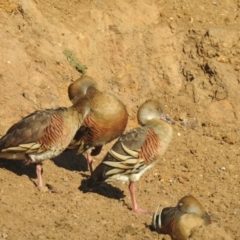 Dendrocygna eytoni (Plumed Whistling-Duck) at Bungendore, NSW - 1 May 2021 by Liam.m