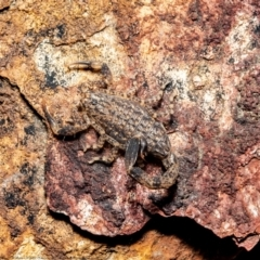 Lychas marmoreus (Marbled Scorpion) at Downer, ACT - 14 Sep 2021 by Roger