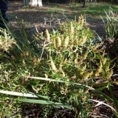 Grevillea ramosissima subsp. ramosissima (Fan Grevillea) at Jerrabomberra, NSW - 11 Sep 2021 by Paul4K