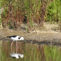 Himantopus leucocephalus (Pied Stilt) at Wagga Wagga, NSW - 12 Dec 2019 by Liam.m