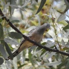 Geopelia placida (Peaceful Dove) at Wagga Wagga, NSW - 12 Dec 2019 by Liam.m