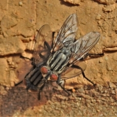 Sarcophagidae sp. (family) (Unidentified flesh fly) at Wanniassa, ACT - 14 Sep 2021 by JohnBundock