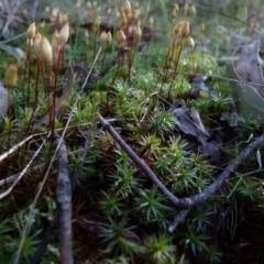 Unidentified Moss / Liverwort / Hornwort (TBC) at Jerrabomberra, NSW - 11 Sep 2021 by Paul4K