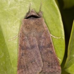 Pantydia (genus) (An Erebid moth) at Melba, ACT - 9 Sep 2021 by kasiaaus