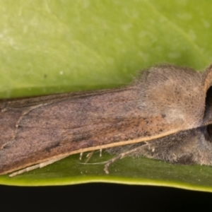 Pantydia (genus) at Melba, ACT - 9 Sep 2021
