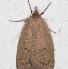 Chezala privatella (A Concealer moth) at Melba, ACT - 9 Sep 2021 by kasiaaus