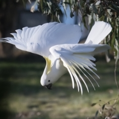 Cacatua galerita (Sulphur-crested Cockatoo) at Googong, NSW - 10 Sep 2021 by WHall