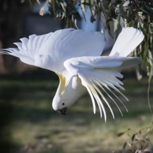 Cacatua galerita at Googong, NSW - 10 Sep 2021