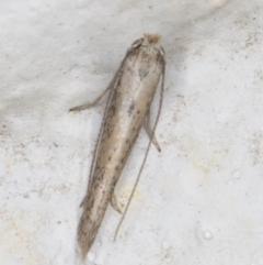 Tineola bisselliella (Webbing Clothes Moth) at Melba, ACT - 9 Sep 2021 by kasiaaus