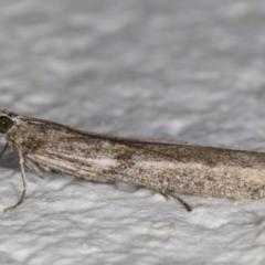 Homoeosoma vagella at Melba, ACT - 10 Sep 2021