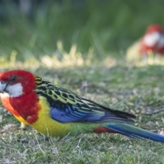 Platycercus eximius (Eastern Rosella) at Googong, NSW - 11 Sep 2021 by WHall