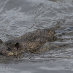Hydromys chrysogaster (Rakali or Water Rat) at Queanbeyan, NSW - 10 Sep 2021 by WHall