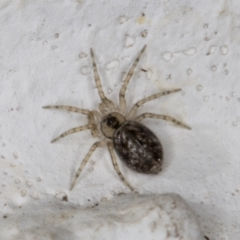 Oecobius navus (Midget house spider) at Melba, ACT - 9 Sep 2021 by kasiaaus