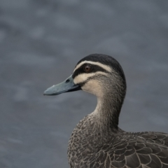 Anas superciliosa (Pacific Black Duck) at Queanbeyan, NSW - 10 Sep 2021 by WHall