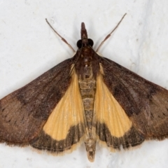 Uresiphita ornithopteralis (Tree Lucerne Moth) at Melba, ACT - 10 Sep 2021 by kasiaaus