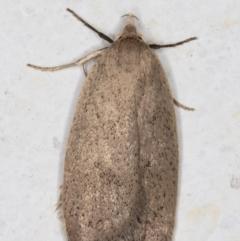 Chezala privatella (A Concealer moth) at Melba, ACT - 10 Sep 2021 by kasiaaus