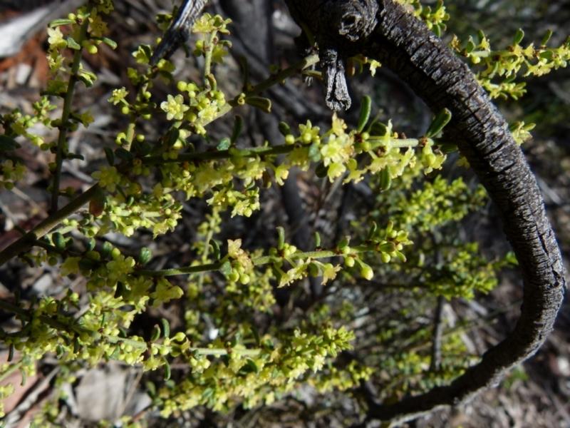Phyllanthus hirtellus at Jerrabomberra, NSW - 12 Sep 2021