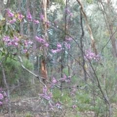 Indigofera australis subsp. australis (Australian Indigo) at Karabar, NSW - 12 Sep 2021 by Paul4K