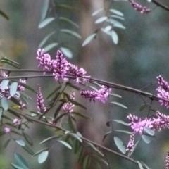 Indigofera australis subsp. australis at Karabar, NSW - 12 Sep 2021