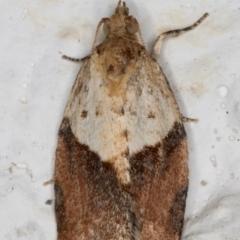 Epiphyas postvittana (Light Brown Apple Moth) at Melba, ACT - 10 Sep 2021 by kasiaaus