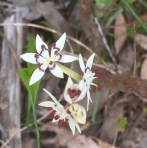 Wurmbea dioica subsp. dioica at Bruce, ACT - 12 Sep 2021