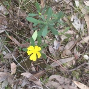 Hibbertia obtusifolia at Bruce, ACT - 12 Sep 2021