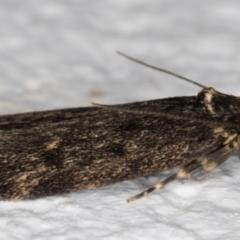 Ardozyga (genus) at Melba, ACT - 11 Sep 2021