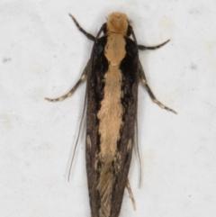 Monopis crocicapitella (Bird Nest Moth) at Melba, ACT - 11 Sep 2021 by kasiaaus
