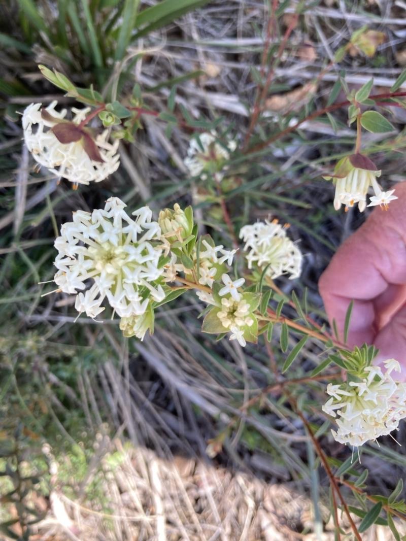 Pimelea linifolia subsp. linifolia at Acton, ACT - 14 Sep 2021