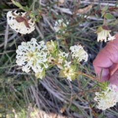 Pimelea linifolia subsp. linifolia (Queen of the Bush, Slender Rice-flower) at Acton, ACT - 13 Sep 2021 by Jenny54