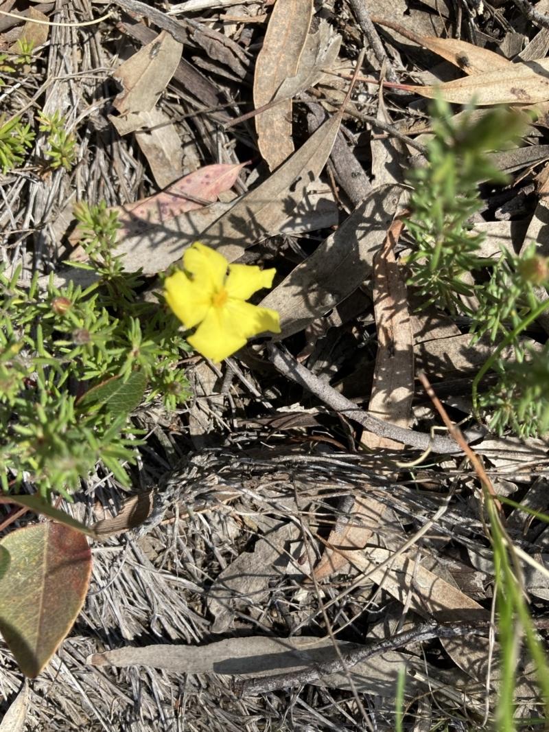 Hibbertia calycina at O'Connor, ACT - 14 Sep 2021
