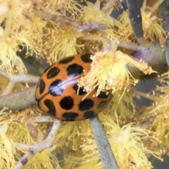 Harmonia conformis (Common Spotted Ladybird) at Hawker, ACT - 14 Sep 2021 by AlisonMilton