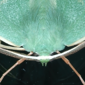 Prasinocyma semicrocea at Ainslie, ACT - 11 Sep 2021