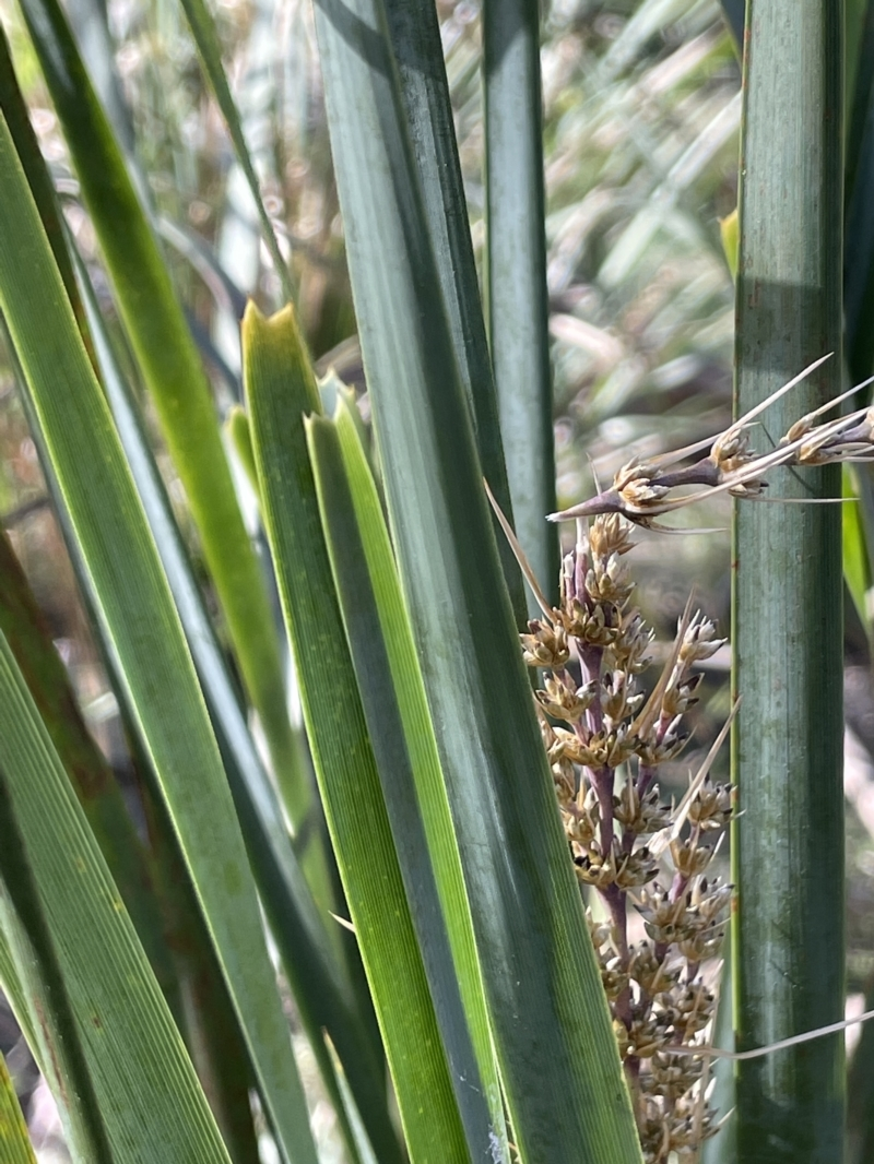 Lomandra longifolia at Majura, ACT - 14 Sep 2021