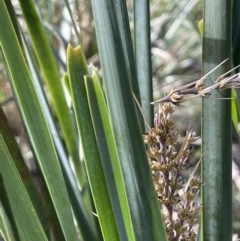 Lomandra longifolia (Spiny-headed Mat-rush, Honey Reed) at Majura, ACT - 14 Sep 2021 by JaneR