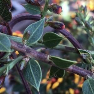 Daviesia ulicifolia subsp. ruscifolia at Downer, ACT - 8 Sep 2021