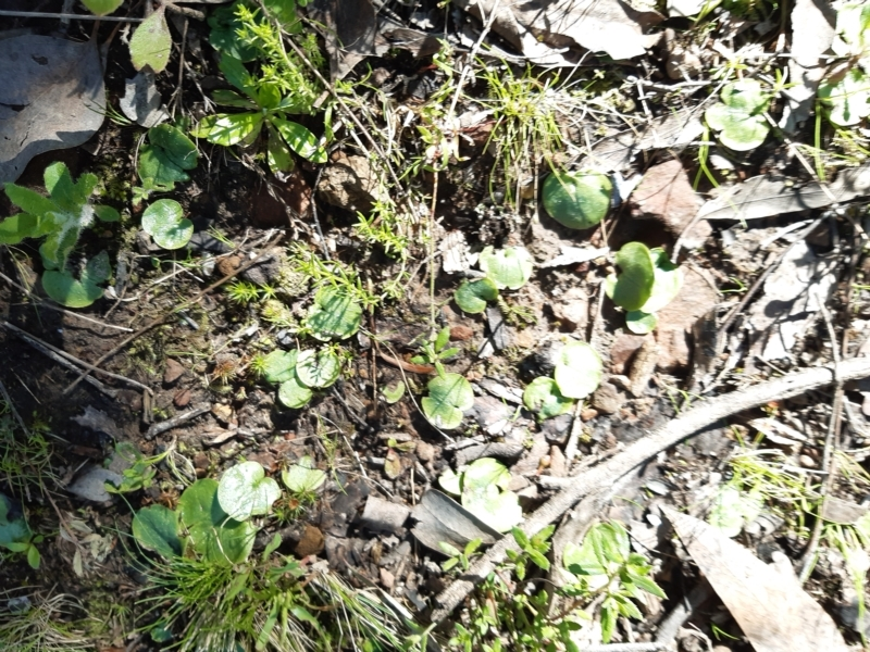 Corysanthes sp. at suppressed - 14 Sep 2021