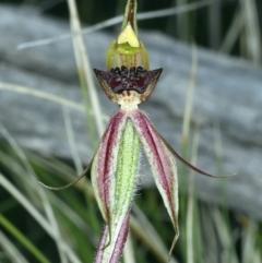 Caladenia actensis at Downer, ACT - 14 Sep 2021