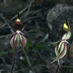 Caladenia actensis at suppressed - 14 Sep 2021
