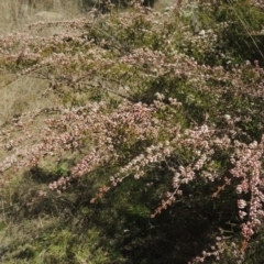 Micromyrtus ciliata (Fringed Heath-myrtle) at Tennent, ACT - 1 Sep 2021 by michaelb