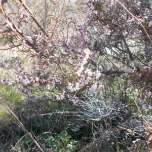 Lissanthe strigosa subsp. subulata at Conder, ACT - 14 Sep 2021
