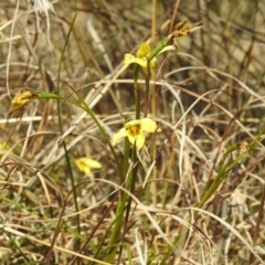 Diuris chryseopsis (Golden Moth) at Stromlo, ACT - 15 Sep 2021 by HelenCross