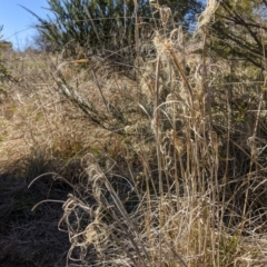 Phragmites australis (Common reed) at Stromlo, ACT - 14 Sep 2021 by HelenCross