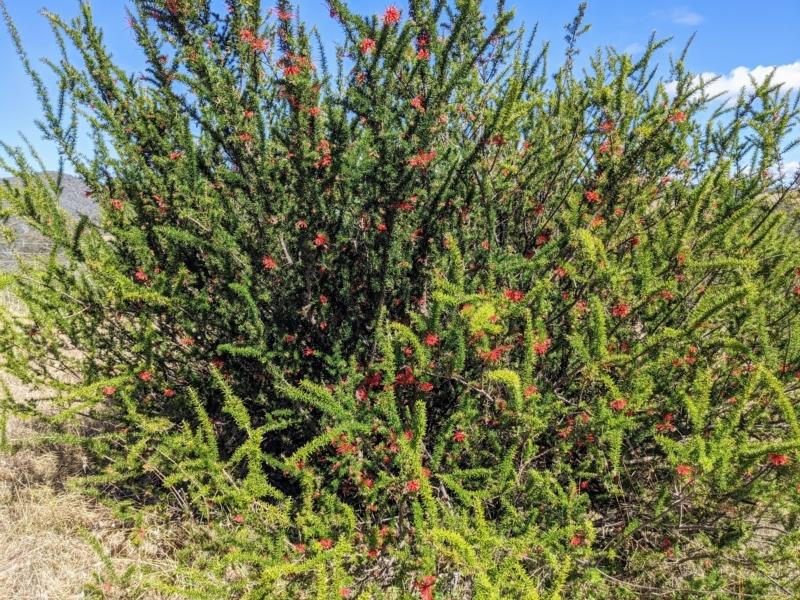 Grevillea juniperina subsp. fortis at Stromlo, ACT - 15 Sep 2021
