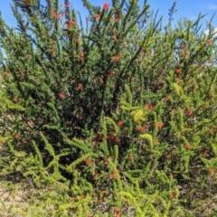 Grevillea juniperina subsp. fortis (Grevillea) at Stromlo, ACT - 14 Sep 2021 by HelenCross