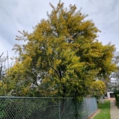 Acacia rubida (Red-leaved Wattle) at Narrabundah, ACT - 9 Sep 2021 by CCMB