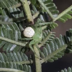 Lehtinelagia prasina (Leek-green flower spider) at Higgins, ACT - 14 Sep 2021 by AlisonMilton