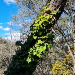 Hedera helix (Ivy) at Jerrabomberra, ACT - 15 Sep 2021 by Mike